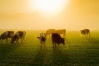 cows_in_the_sun