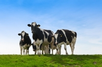 Dairy-cows-outside-in-a-field